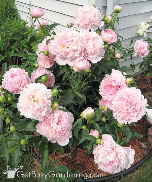 Light pink peony flowers kept upright with grow through plant supports