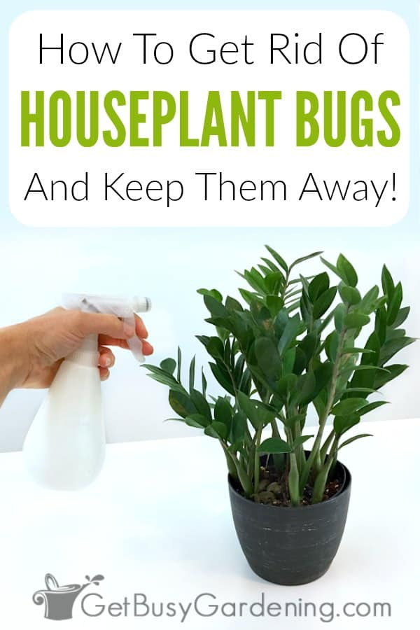 Whether it be spider mites, mealybugs, fungus gnats (that look like fruit flies), scale, aphids, whiteflies or any other plant bugs, indoor plant pest infestations are frustrating! Find out the identification of the most common plant pests, and learn how to get rid of bugs on houseplants leaves, stems and in the soil using all natural products and pest control methods. Plus get tons of tips for how to keep insects off your plants FOR GOOD!