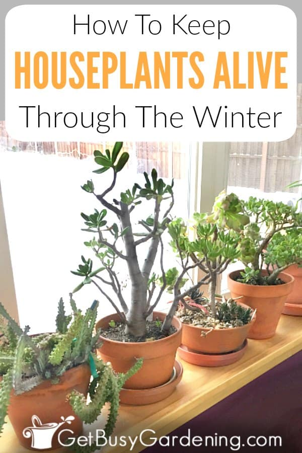 Caring for indoor plants in winter is much harder than it is during the summer. The biggest challenges indoor gardeners face are watering plants, humidity, low light, temperature, and dealing with plant pests. Get tons of tips for how to keep houseplants alive in winter, and learn how to grow beautiful indoor plants all year round. Includes watering tips, grow light info, fertilizing, repotting and tips for controlling plant bugs.