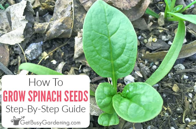 How To Grow Spinach From Seed: Step-By-Step