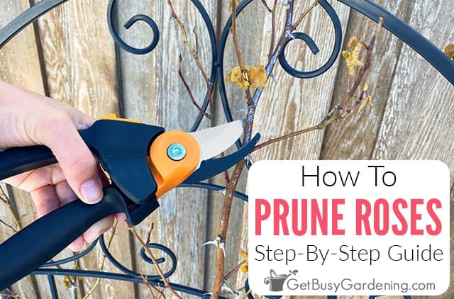 How To Prune Roses: A Step-By-Step Guide