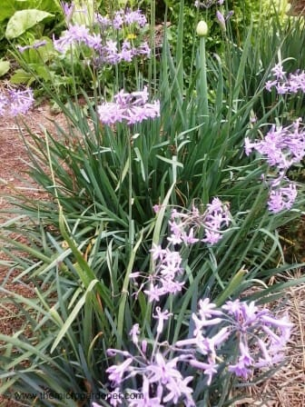 Flowering spring onions & garlic chives make an attractive edible border.
