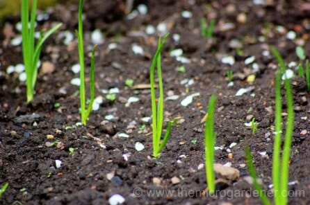 Spring onion seedlings can be planted in trays or sown direct and thinned out.