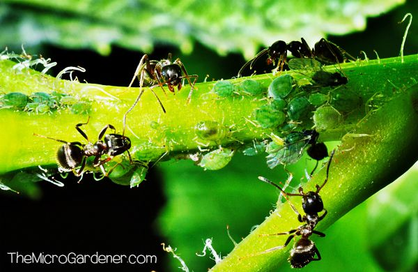 Ants in my Plants, Pots and Soil: Ants protecting and guarding young aphids