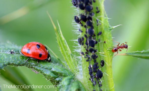 Ants in my Plants, Pots and Soil: Ladybird predator insect in a balanced food fight with one ant protecting many mature black aphids