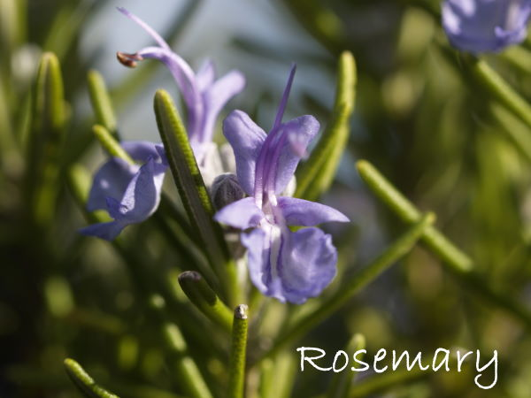 growing rosemary, rosemary flowers