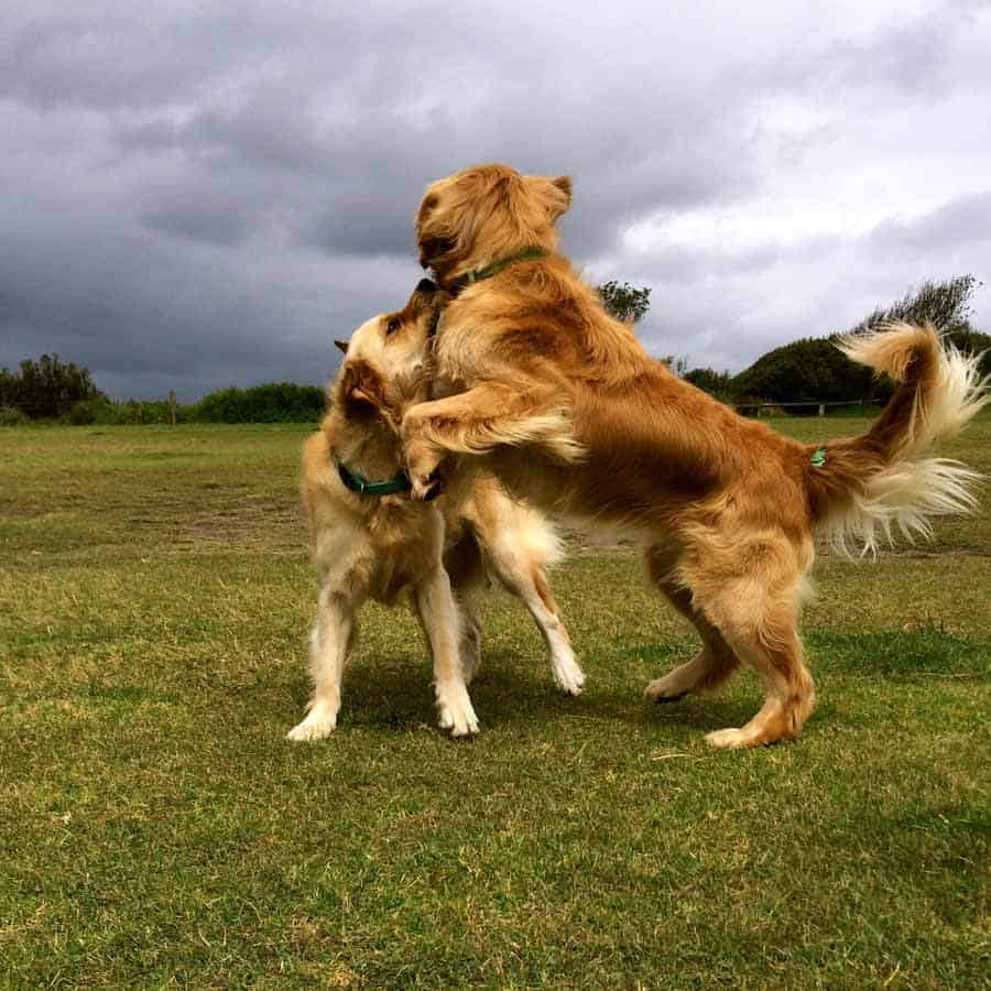 Dozer the golden retriever dog playing with looming storm