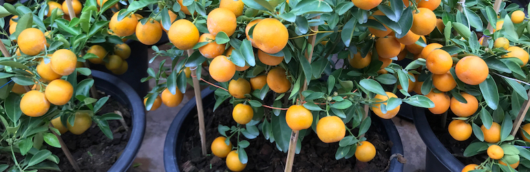 mini orange trees in a flower pot at home